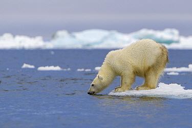 Polar Bear (Ursus maritimus) smelling water, Franz Josef Land, Russia