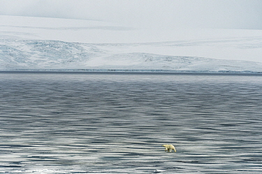 Polar Bear (Ursus maritimus) on pack ice, Franz Josef Land, Russia