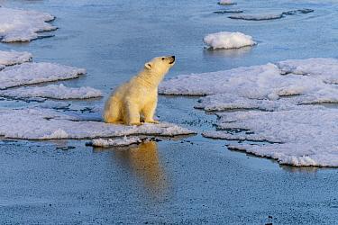 Polar Bear (Ursus maritimus) cub scenting on ice floe, Franz Josef Land, Russia