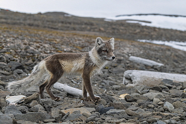 Arctic Fox (Alopex lagopus) in summer coat, Franz Josef Land, Russia