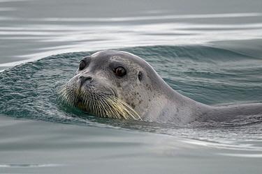 Ringed Seal (Phoca hispida), Franz Josef Land, Russia