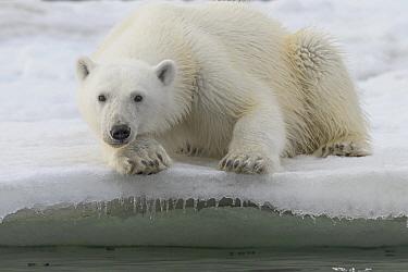 Polar Bear (Ursus maritimus) sub-adult, Franz Josef Land, Rusia