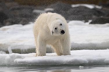 Polar Bear (Ursus maritimus) sub-adult shaking off water, Franz Josef Land, Russia
