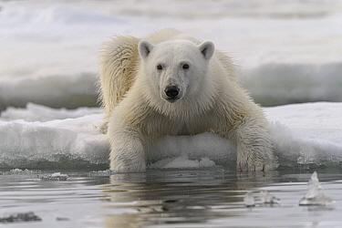 Polar Bear (Ursus maritimus) sub-adult, Franz Josef Land, Russia