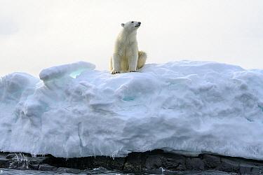 Polar Bear (Ursus maritimus) on iceberg, Franz Josef Land, Russia