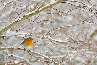 European Robin (Erithacus rubecula) in winter, North Rhine-Westphalia, Germany