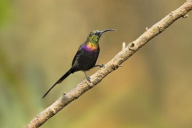 Tacazze Sunbird (Nectarinia tacazze) young male, Oromia, Ethiopia