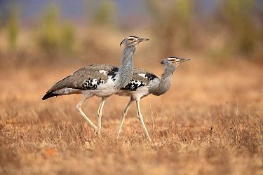 Kori Bustard (Ardeotis kori) pair, Liben Plains, Ethiopia