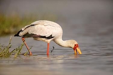 Yellow-billed Stork (Mycteria ibis) foraging, Ziway Lake, Ethiopia