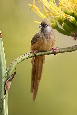 Speckled Mousebird (Colius striatus), Ethiopia