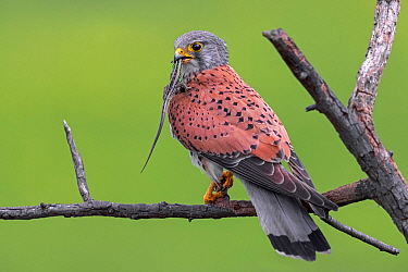 Eurasian Kestrel (Falco tinnunculus) male with lizard prey, Serbia