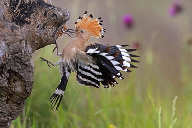 Eurasian Hoopoe (Upupa epops) feeding chick in nest cavity, Serbia