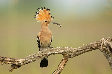 Eurasian Hoopoe (Upupa epops) with incect prey, Serbia