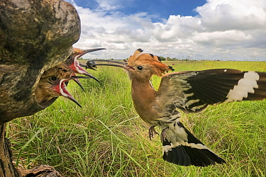 Eurasian Hoopoe (Upupa epops) feeding chicks in nest cavity, Serbia