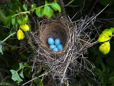 Common Rosefinch (Carpodacus erythrinus) nest with eggs, Mecklenburg-Vorpommern, Germany