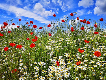 Red Poppy (Papaver rhoeas) and Marguerite (Leucanthemum vulgare) flowers in field in summer, Baden-Wurttemberg, Germany