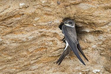 Sand Martin (Riparia riparia) at nest cavity, North Rhine-Westphalia, Germany