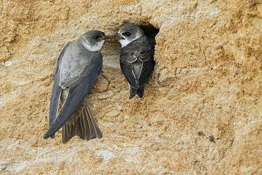 Sand Martin (Riparia riparia) pair at nest cavity, North Rhine-Westphalia, Germany
