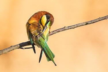 European Bee-eater (Merops apiaster) preening, Rhineland-Palatinate, Germany