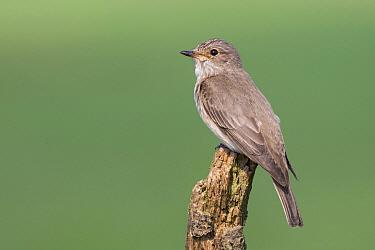 Spotted Flycatcher (Muscicapa striata), Lower Saxony, Germany
