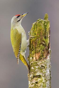 Grey-headed Woodpecker (Picus canus) male, Poland