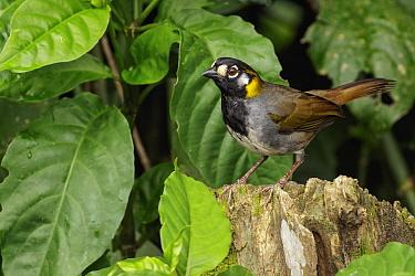 White-eared Ground Sparrow (Melozone leucotis), San Jose, Costa Rica
