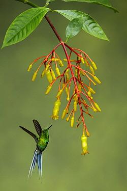 Green-and-gold Tanager (Tangara schrankii) feeding on flower nectar, Ecuador