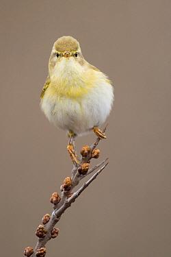 Willow Warbler (Phylloscopus trochilus), North Holland, Netherlands