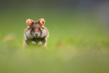 Common Hamster (Cricetus cricetus), Vienna, Austria