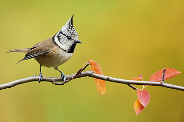 Crested Tit (Lophophanes cristatus), Switzerland