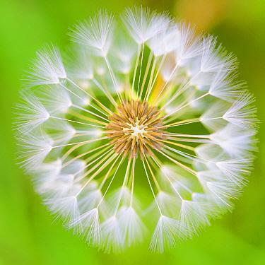 Dandelion (Taraxacum officinale) seedhead, Germany