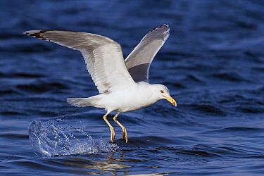 Caspian Gull (Larus cachinnans) taking flight, Eilat, Israel