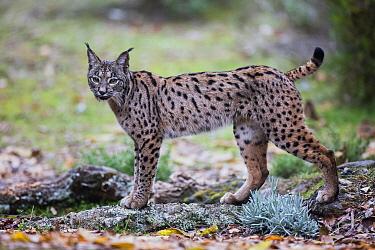 Spanish Lynx (Lynx pardinus), Spain