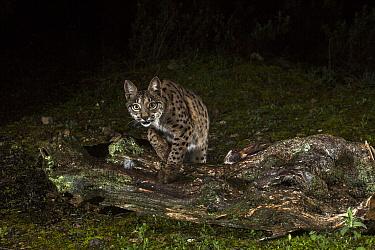 Spanish Lynx (Lynx pardinus) at night, Spain