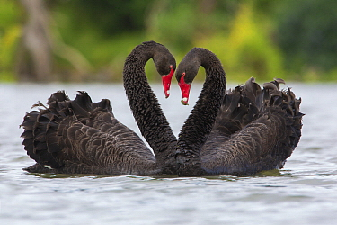 Black Swan (Cygnus atratus) pair courting, Victoria, Australia