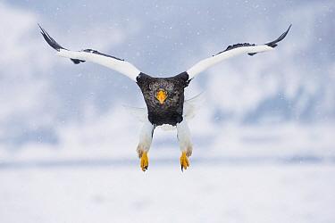 Steller's Sea Eagle (Haliaeetus pelagicus) flying, Hokkaido, Japan