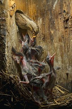 Eurasian Wryneck (Jynx torquilla) parent feeding chicks in nesting box, Saxony, Germany
