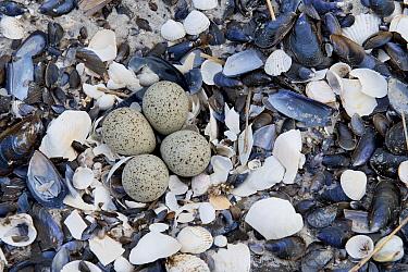Little Ringed Plover (Charadrius dubius) nest with eggs, Mecklenburg-Vorpommern, Germany