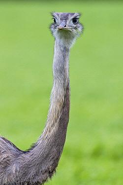 Greater Rhea (Rhea americana), Mecklenburg-Vorpommern, Germany