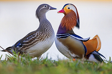 Mandarin Duck (Aix galericulata) female and male, Saxony-Anhalt, Germany