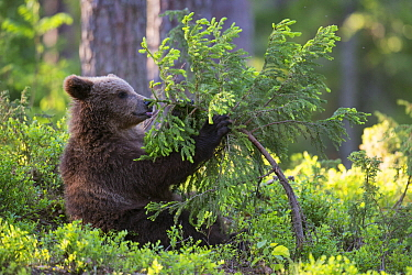 Brown Bear (Ursus arctos) cub playing with sapling, Finland