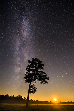 Scotch Pine (Pinus sylvestris) tree at night with Milky Way, Lower Saxony, Germany