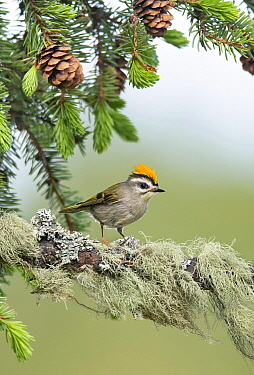 Golden-crowned Kinglet (Regulus satrapa) male, British Columbia, Canada