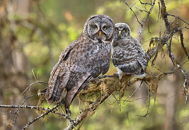 Great Gray Owl (Strix nebulosa) parent with chick, British Columbia, Canada