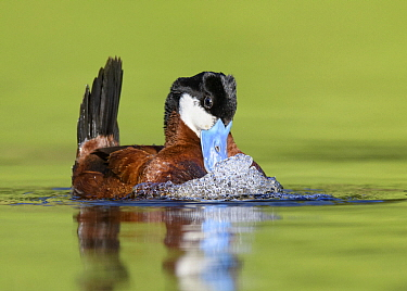 Ruddy Duck (Oxyura jamaicensis) male displaying, British Columbia, Canada