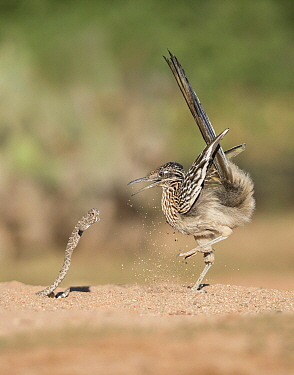 Greater Roadrunner (Geococcyx californianus) hunting Western Diamondback Rattlesnake (Crotalus atrox), Arizona