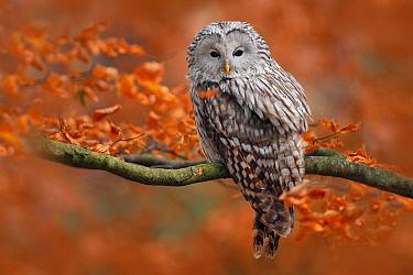 Ural Owl (Strix uralensis) in autumn, Sweden