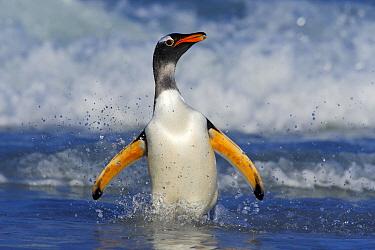 Gentoo Penguin (Pygoscelis papua) coming ashore, Falkland Islands