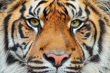 Sumatran Tiger (Panthera tigris sumatrae), native to Indonesia