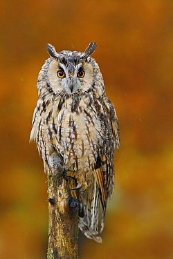 Long-eared Owl (Asio otus) in autumn with mouse prey, Norway